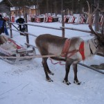 The Sámis and their reindeer