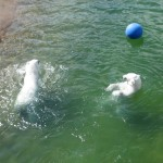 Polar Bears in Ranua Wildlife Park