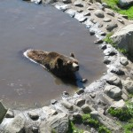 Expecting brown bear cubs in Ranua Wildlife Park?