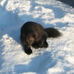 Wolverine – a threat to reindeer herding in Lapland?
