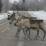 Reindeer for tourist attractions and herding