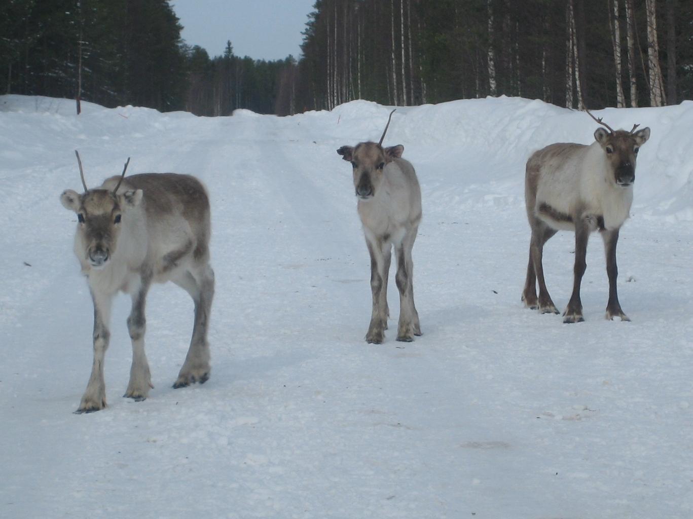 be ware of reindeer on the road grandma in lapland