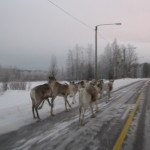 Be ware of reindeer on the road