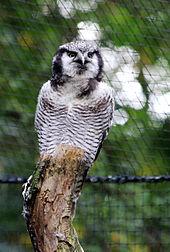 hawk owl2